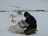 Reindeer equipped with an Argos beacon